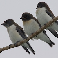 White-breasted Woodswallow