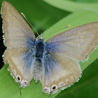 Long-tailed Pea-Blue