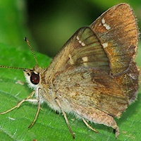 Banded Grass-skipper