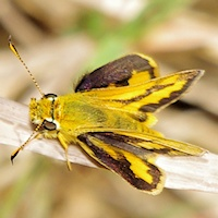 Narrow-brand Grass-dart