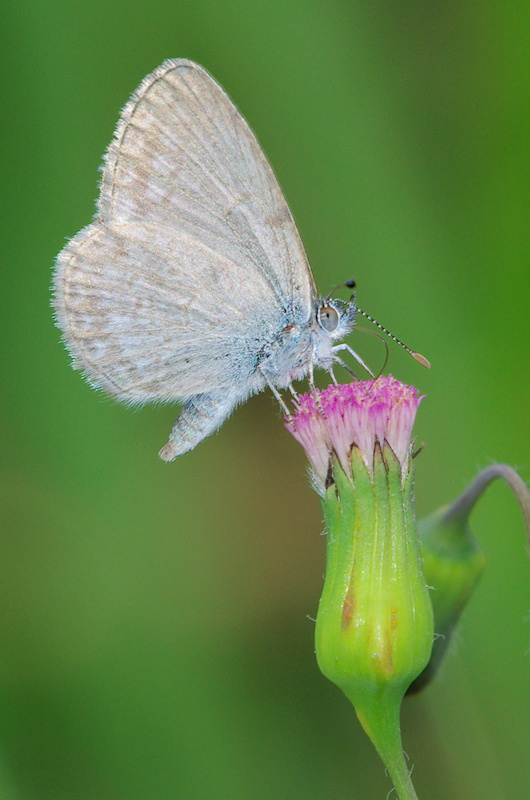 Common Grass-blue