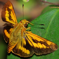 Orange Palm-dart