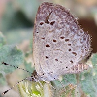 Spotted Grass-blue