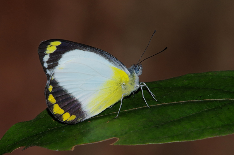 Yellow-banded Jezebel