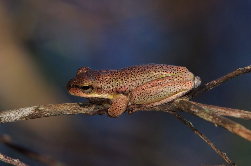 Cooloola Tree Frog