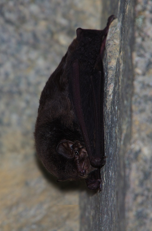 Common Bentwing Bat
