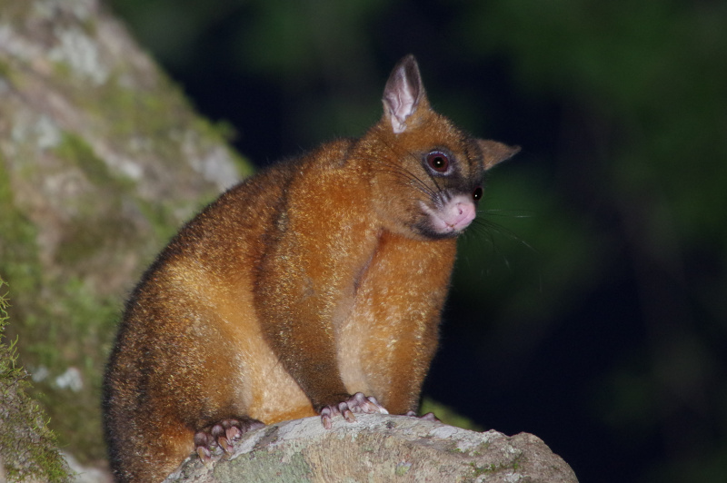 Coppery Brushtail Possum