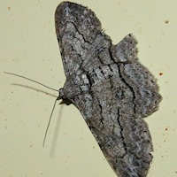 Unidentified Moth 3