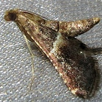 Unidentified Moth 8