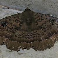 Northern Old Lady Moth