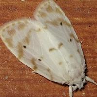 Family Arctiidae (Tiger Moths) - Australian Moth photos