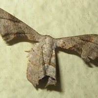Unidentified Moth 10