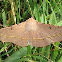 Pink Bellied Moth