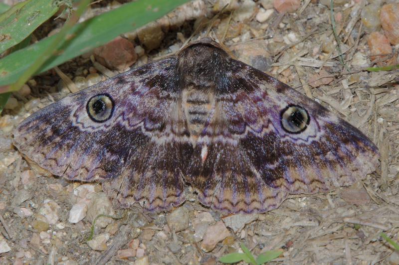 Brown White Banded Noctuid