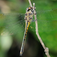 Hemicorduliidae