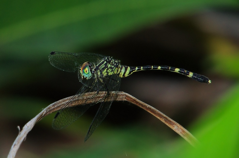 Common Archtail