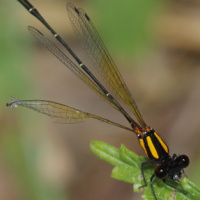 Orange Threadtail