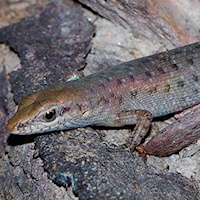 Two-spined rainbow skink