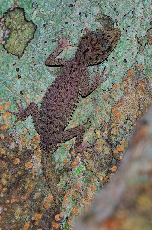 Ringed thin-tailed gecko