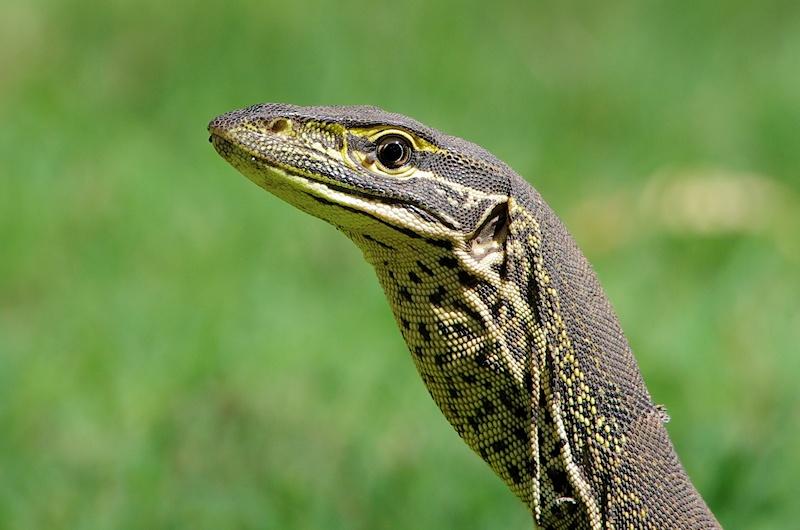 reptile australia related keywords reptile australia