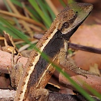Nobbi dragon