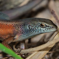 Robust rainbow-skink
