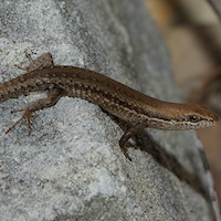 Open-litter rainbow-skink