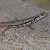 South-eastern morethia skink