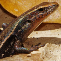 Red-throated rainbow-skink