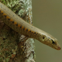 Yellow-blotched forest-skink