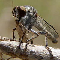 Robber Fly (Ommatius sp.)