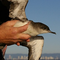 Fluttering Shearwater (Puffinis gavia) release