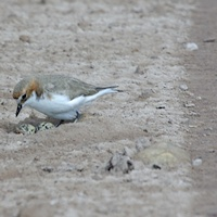Red-capped Plover (Charadrius ruficapillus)  at nest