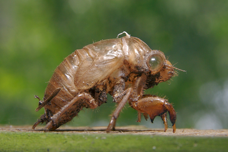 Make And Model >> Cicada Shell