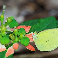 Large Grass-yellow (Eurema hecabe) feeding
