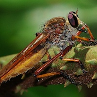Robber Fly sp. (Family Asilidae)