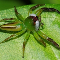 Green Jumping Spider (Mopsus mormon) Male