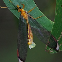 Blue Eyes Lacewing (Nymphes myrmeleonides) with eggs