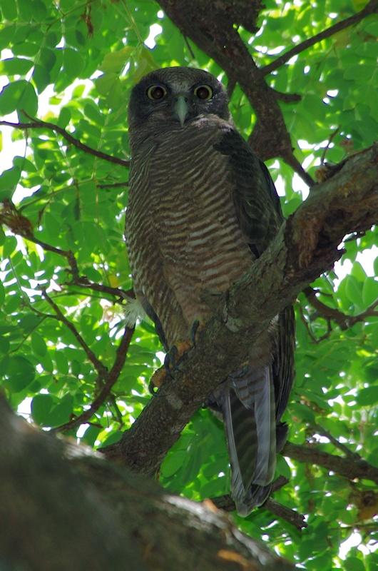 Rufous owl - photo#35
